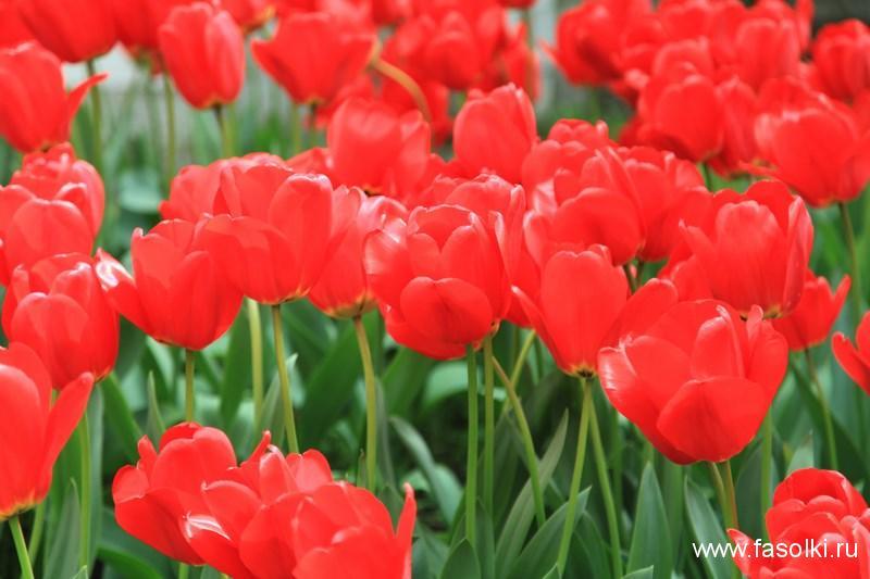 Тюльпаны у собора Нотр-Дам де ла Шапель