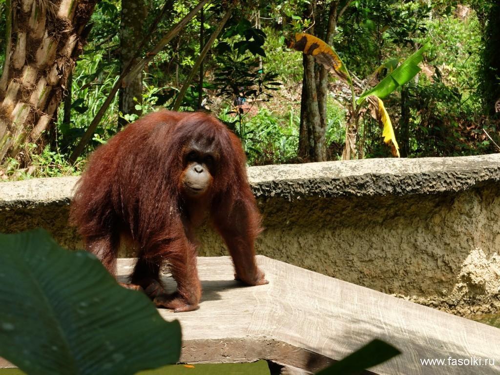 Органгутаны - достояние Борнео. Название происходит от малайского Orang Hutan, что означает «лесной человек» (orang — «человек» , hutan — «лес»)