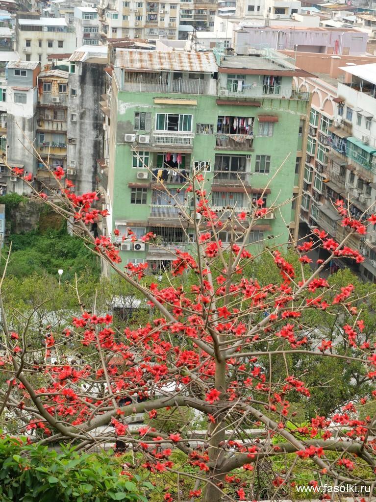 Нам повезло - мы застали период цветения хлопкового дерева